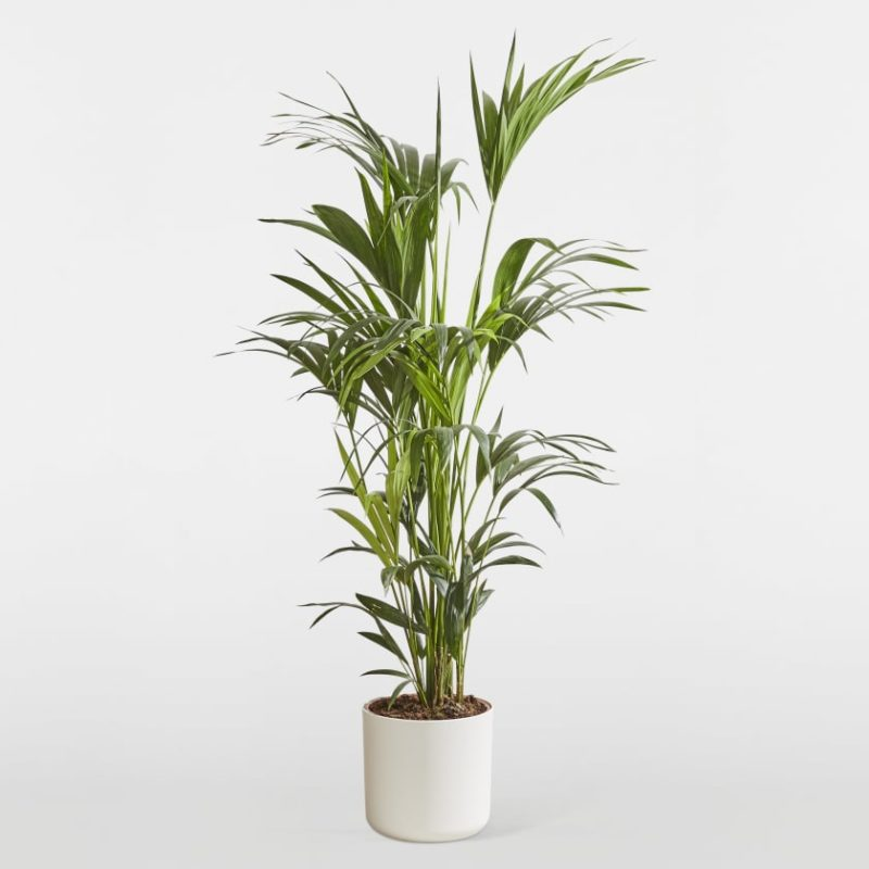indoor-palm-plant
